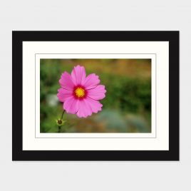 Pink Cosmos – Print
