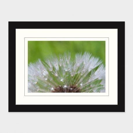 Dandelion-IV-Framed