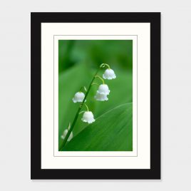 Lily of the Valley – Print