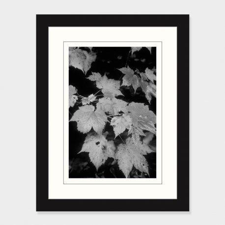 Maple-Leaves-Framed
