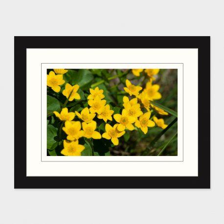 Marsh-Marigold-Framed