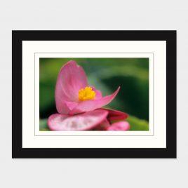 Wax Begonia – Print