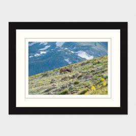 Rocky Mt NP Elk – Print