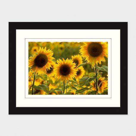 Sunflowers-Framed