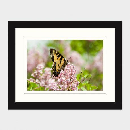 Swallowtail-Butterfly-Framed