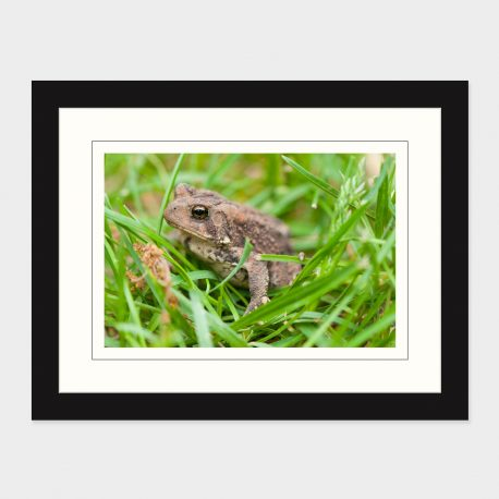Toad-II-Framed