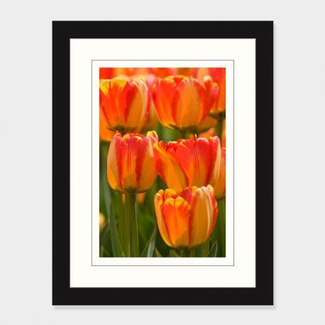 Tulips-Framed