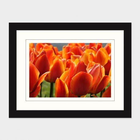 Tulips-II-Framed