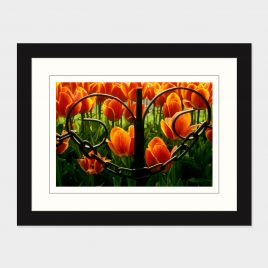 Tulips Through an Iron Fence – Print