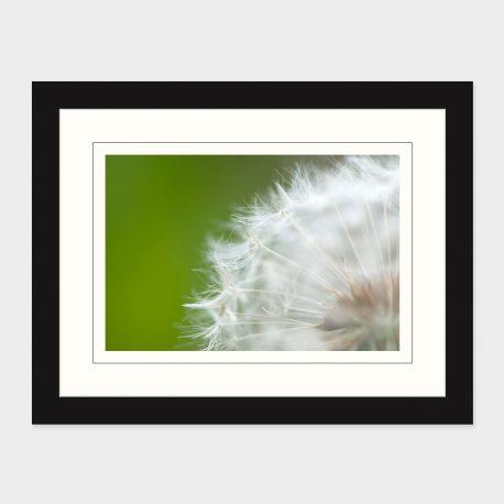 Dandelion-II-Framed