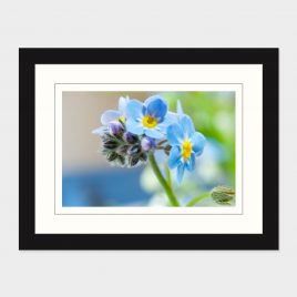 Forget Me Not – Print