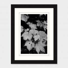 Maple Leaves – Print
