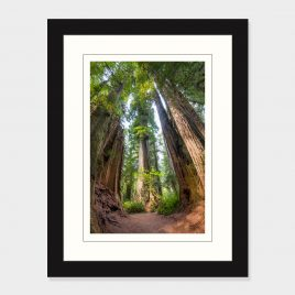 Redwood Trees – Print
