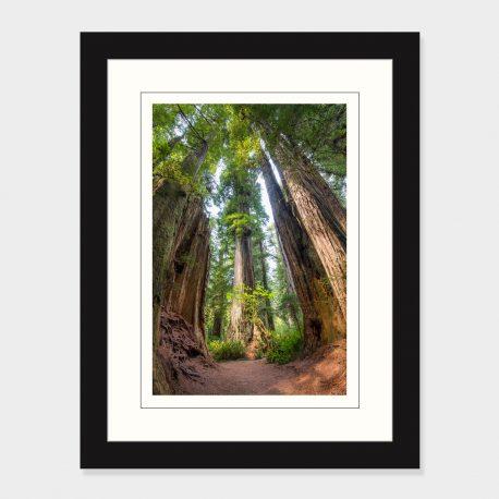 Redwood-Trees-Framed