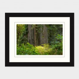 Redwood Forest Scene – Print