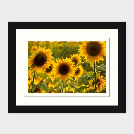 Sunflowers-Framed