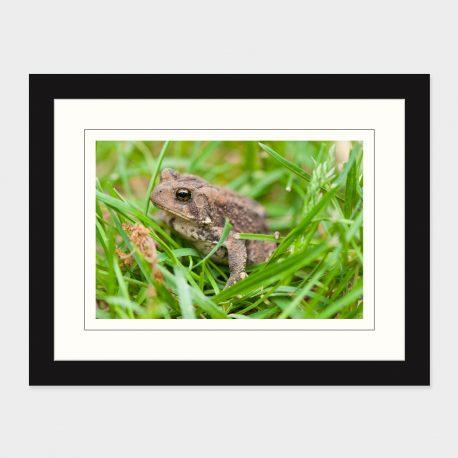 Toad-II-Framed