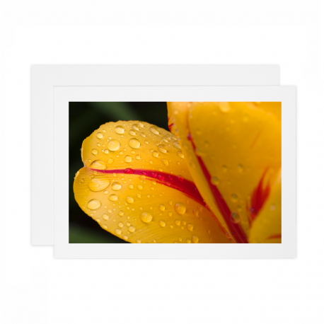 Tulip-with-Water-Droplets