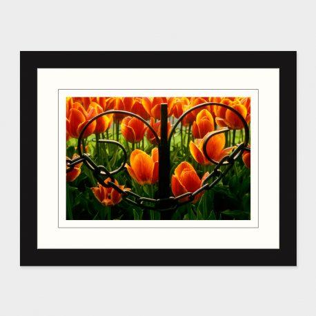 Tulips-Through-an-Iron-Fence-Framed