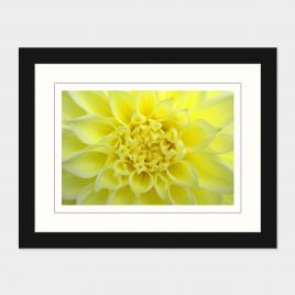 Yellow Dahlia – Print